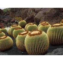 Semillas De Cactus Barril De Oro, E. Grusonii, Envío Gratis