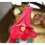 Semillas De Copihue Rojo, Flor Chile, Envío Gratis, Oferta