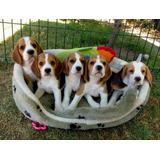Maravillosos Cachorros Beagle Tricolores