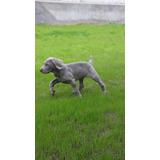 Cachorros Weimaraner Inscritos Entrega Abril19 Los Mejore