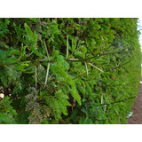Cerco Vivo Protección Acacia Capensis 40 A 50 Cm Aprox