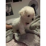 Hermosa Poodle Hembrita ( Toy Micro Toy)
