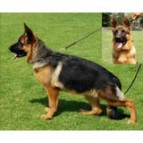 Cachorra Pastor Alemán Inscrita Chilcoa