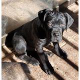 Cachorros Cane Corso Inscritos, Negros