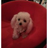 Maravillosos Poodle Micro Toy Las Condes!