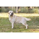 Última Cachorra Labradora Inscrita. Línea De Campeones !!!