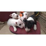 Bull Terrier Cachorros Legítimos
