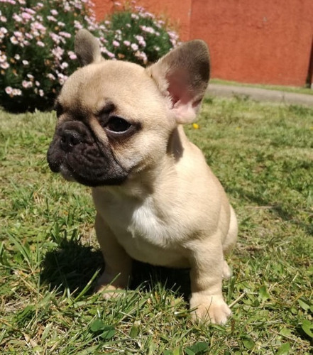 Hermosas Cachorras Bulldog Frances Inscritas