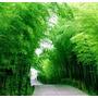 10 Semillas De Bambu Mosso Gigante .