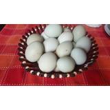 Huevos Fertiles De Raza Azul