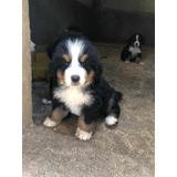 Cachorros Boyeros De Berna