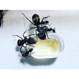 Hormigas Venta (hormigas Criadas, Equipos, Nidos, Insumos)