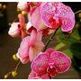 50 Semillas De Orquideas Mariposa Jaspeada Planta Casera