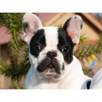 Bulldog Francés Machos Inscritos Kcc