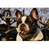 Espectacular Macho  Bulldog Frances Servicio Stud