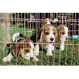 Cachorros Beagle Tricolor Pequeños