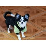 Cachorro Chihuahua Pelo Largo 250.000