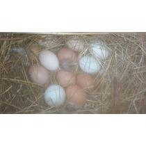 Huevos Fértiles De Gallinas.
