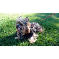 Yorkshire Terrier Busca Novia - Temuco.