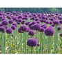 Semillas De Allium Multicolor