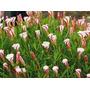 Semillas Oxalis Multicolor Pack