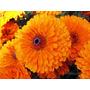 Semillas Flor Marigold 1 Pack