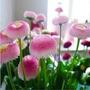 Semillas De Flor Helado De Fresa Flores Exoticas