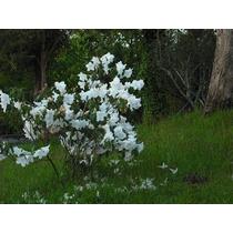 Rododendro Himalaya