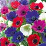 3 Bulbos Anemonas Colores Mix
