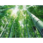 Bamboo Bambu Gigante Moso Mao Pack Semillas + Guia