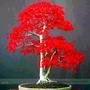Semillas Arce Rojo Japones Par Bonsai O Jardin