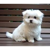 ### Cachorros Maltes Inscritos Kennel Club De Chile ###