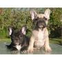 Bulldog Frances Fawn Y Brindle Inscritos Machos, Tarjetas