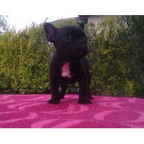 Bello Cachorro Bulldog Frances Inscrito, Disponibles.