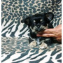 Chihuahua Hembrita Pelo Largo.