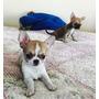 Chihuahua Inscrito Hijo De Campeones Importados