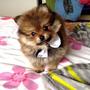 Hermoso Cachorros Pomeranias, Pago En Cuotas