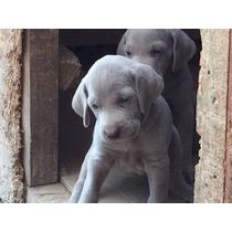Cachorros Weimaraner Chile Inscritos Reservas Los Mejores
