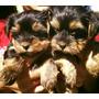 Yorkshire Terrier Pequeñitos C/vacunas Entrega En Ls Angeles