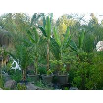 Bananeras De Todos Los Tamaños Desde 10.000