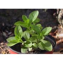 400 Semillas De Stevia, Envío Gratis Todo Chile + Manual