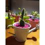 Regala Vida! Arreglos De Cactus Y Suculentas