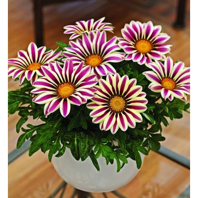 Flores gazania espectaculares colores mix de semillas for Plantas exterior todo el ano