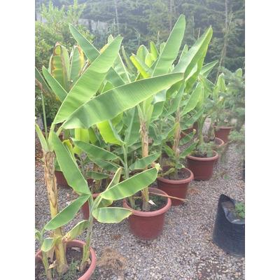 Plantas de 1 mt platano musa o banano a domicilio jardin for Plantas a domicilio santiago